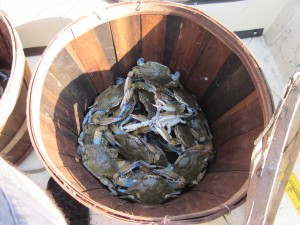 Blue Crabs freshly caught in Delaware